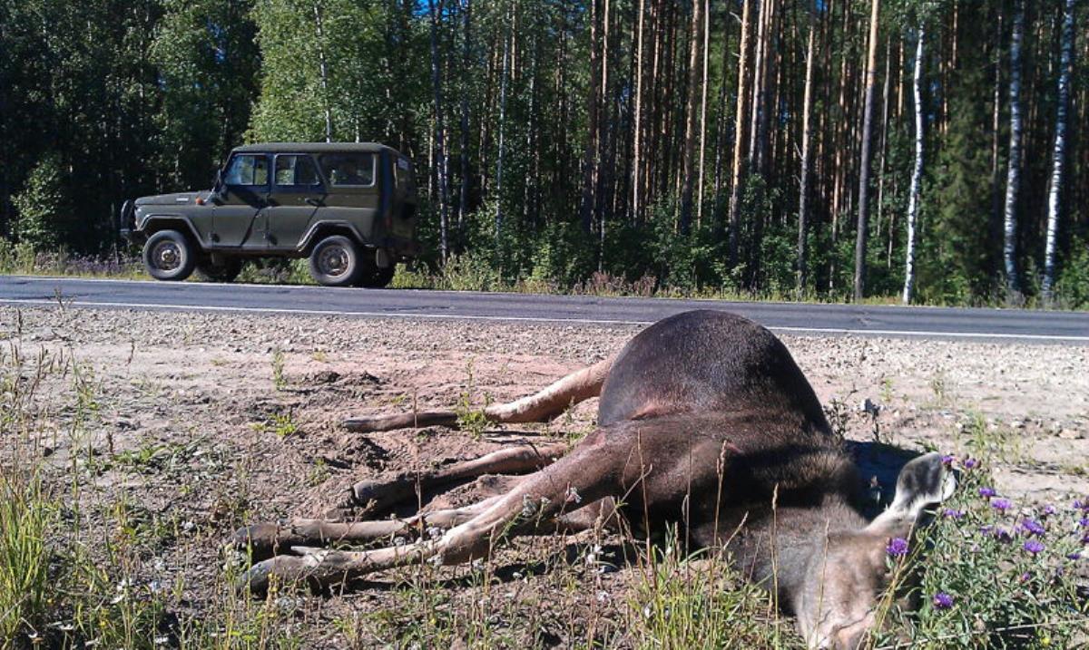 Внимание: лоси на дорогах!