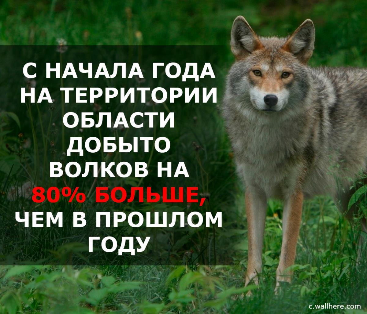 Омутнинские охотники добыли на «вабу» самца волка