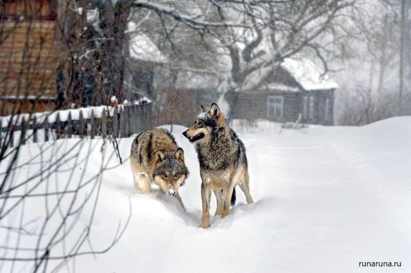 Волки все чаще заходят в населенные пункты