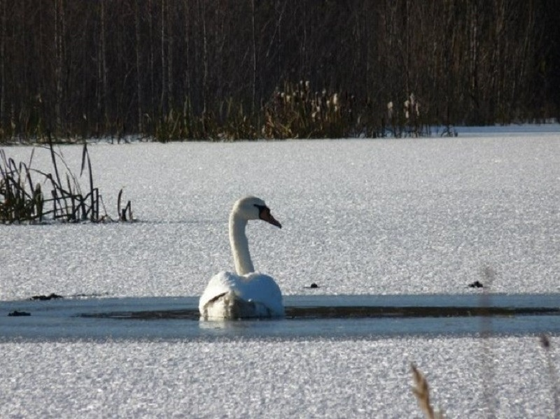 Местные охотоведы спасли замерзающего на пруду лебедя