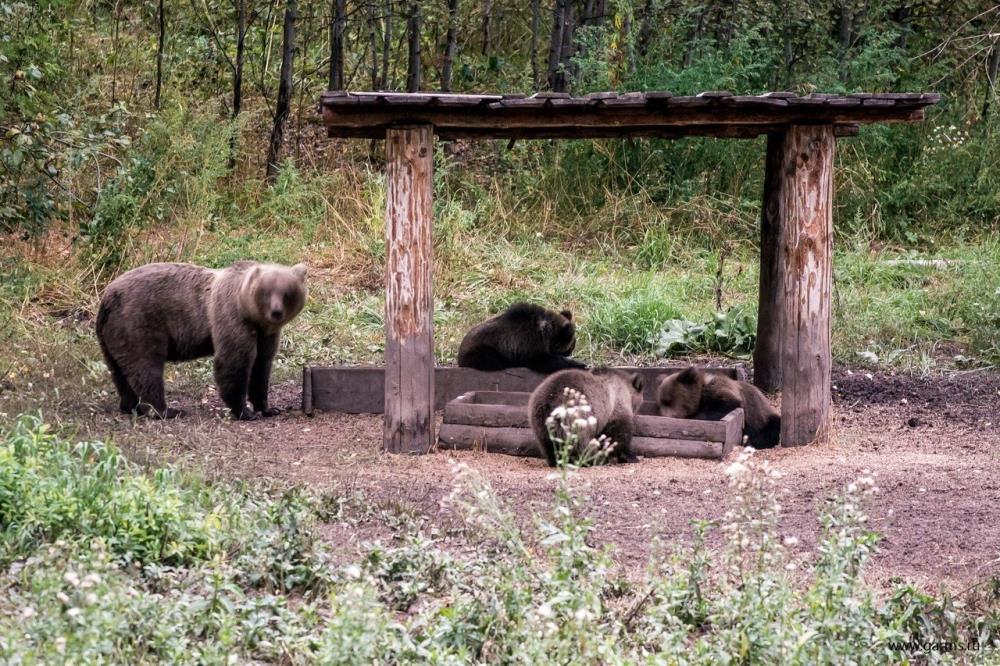 Разрешения на добычу медведя