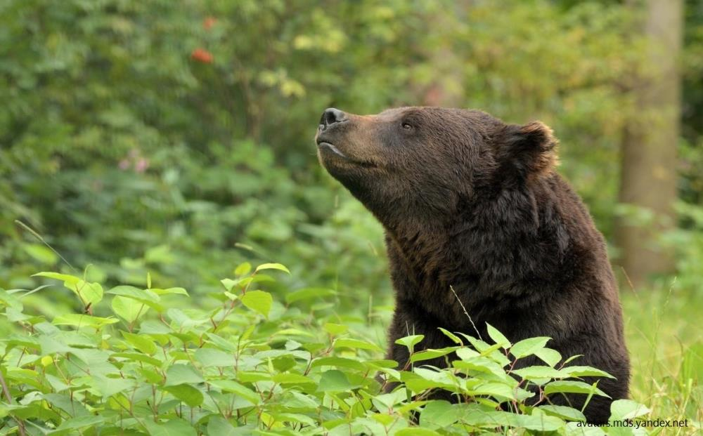 Открылась охота на бурого медведя