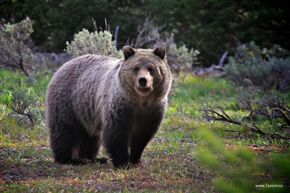 Открылась охота на медведя