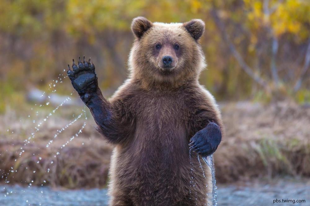 Охотники не обнаружили свежих следов медведя