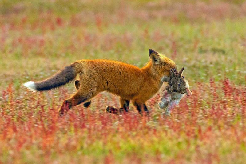 Открылась охота на зайца и лисицу