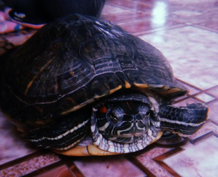 Новокшонова_черепаха