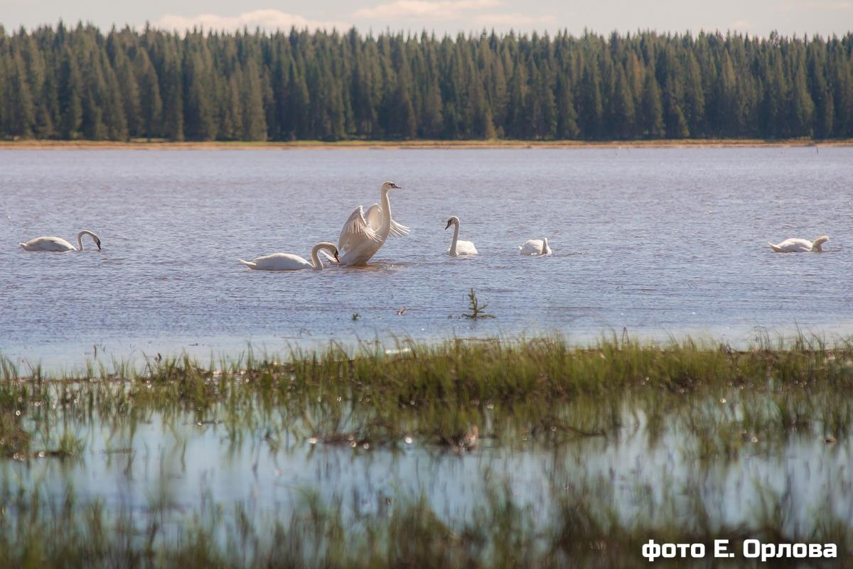 Стая лебедей прилетела в Омутнинск