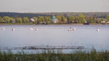 Лебеди_1
