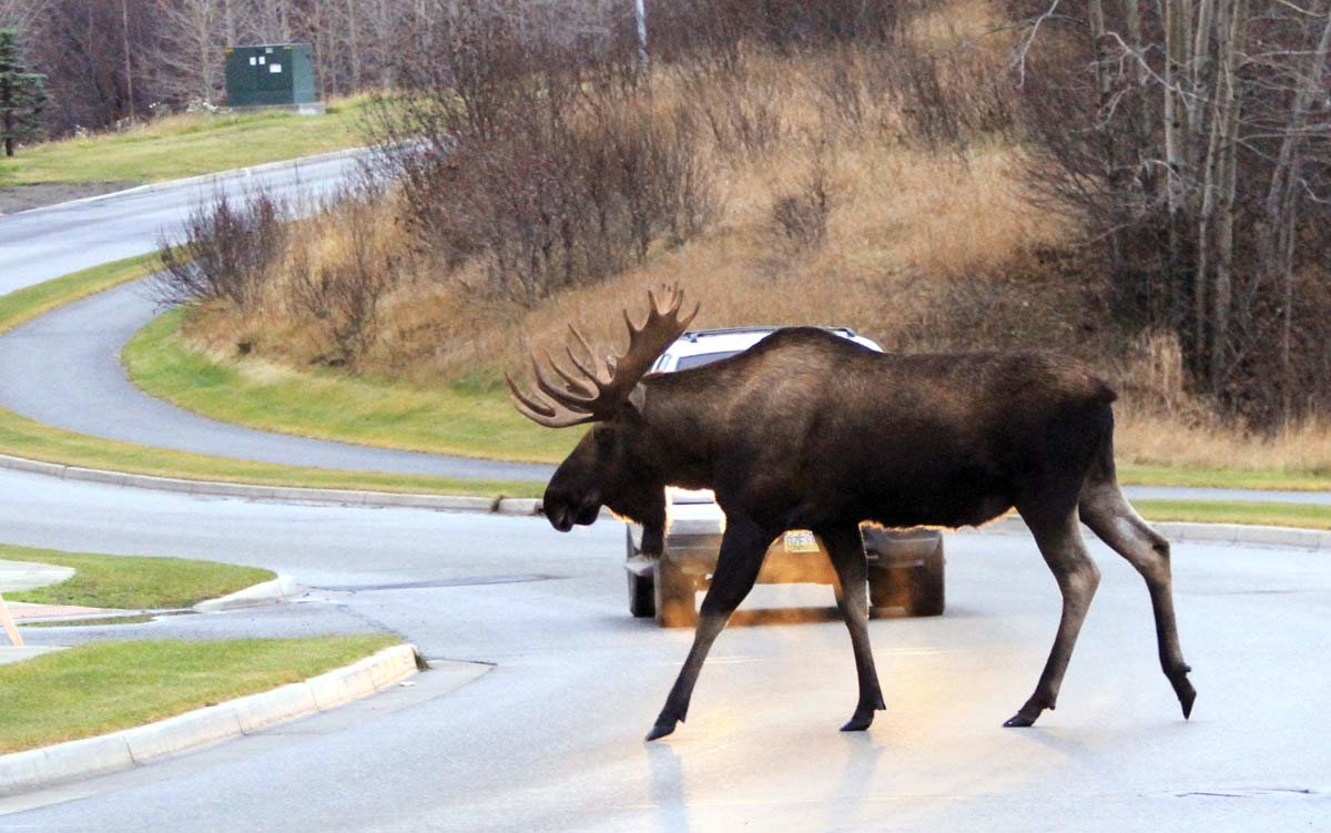 Лоси выходят на дороги