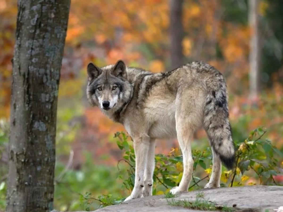 В охотхозяйстве  завода добыли волка