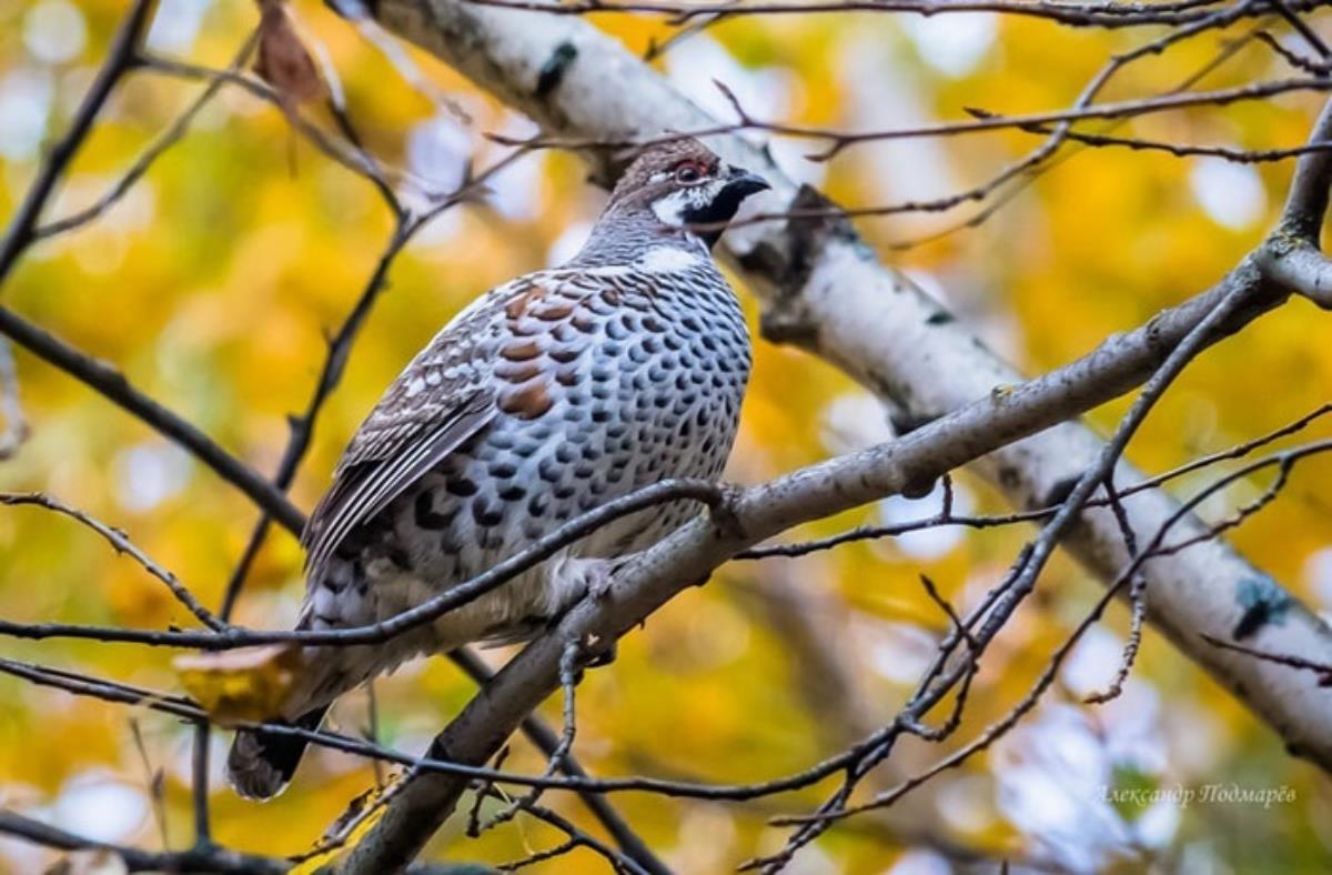 За охотничий сезон добыто более 33 тысяч птиц