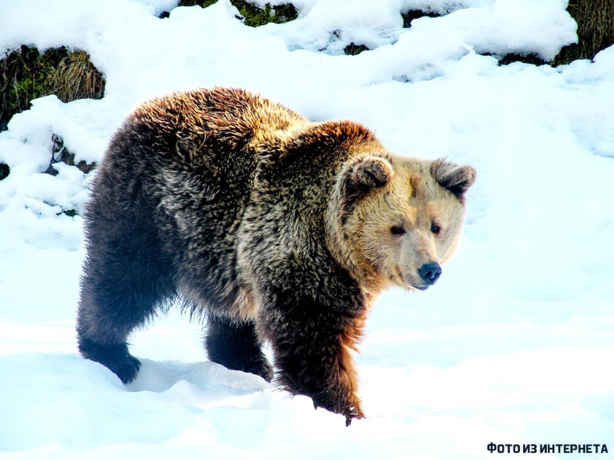 Медвежий вопрос: охотники продолжают рейды
