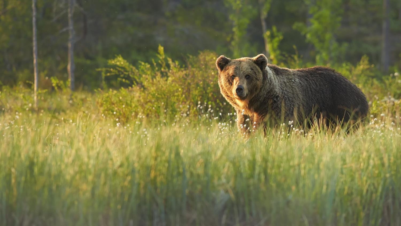 Охотники смогут добыть 1357 медведей